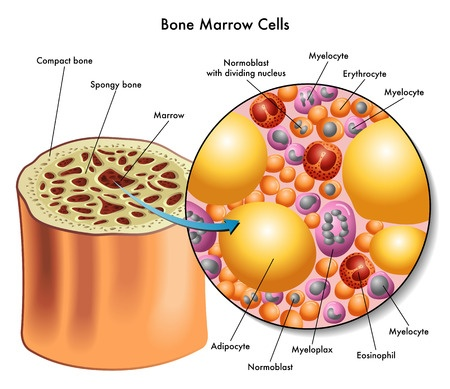 WHY STEM CELLS FROM BONE MARROW ARE IMPORTANT?