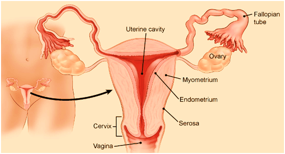 Nutrition Can Improve Endometrial Lining